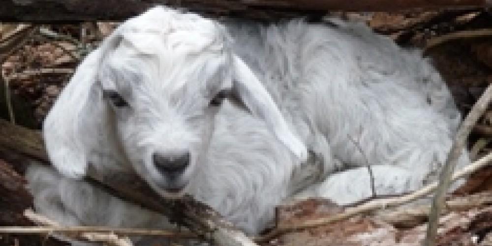 Cashmere goat kid – Beth Bohnert