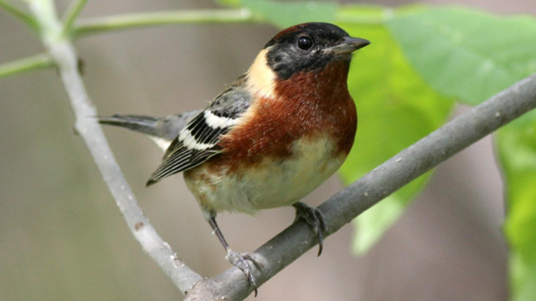 Bay-breasted Warbler – James Hurt