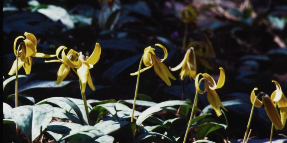 Trout Lilies – TVA