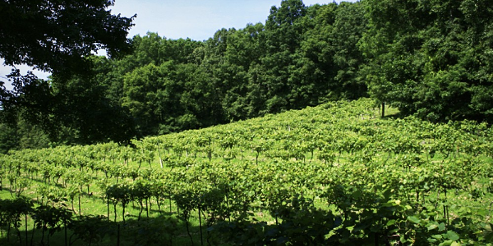 Part of the vineyard – John Birkholz