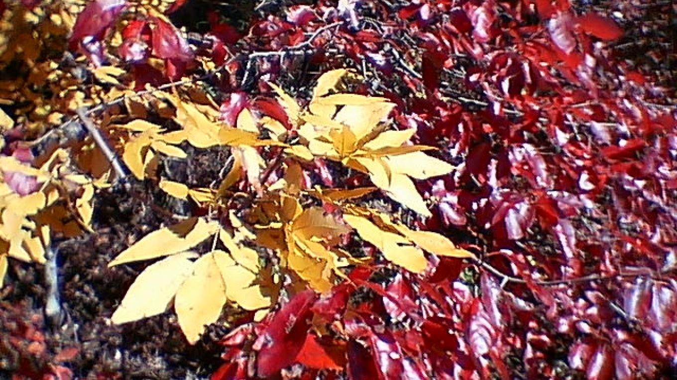 Autumn leaves, Foothills Parkway west – Townsend Visitors Center