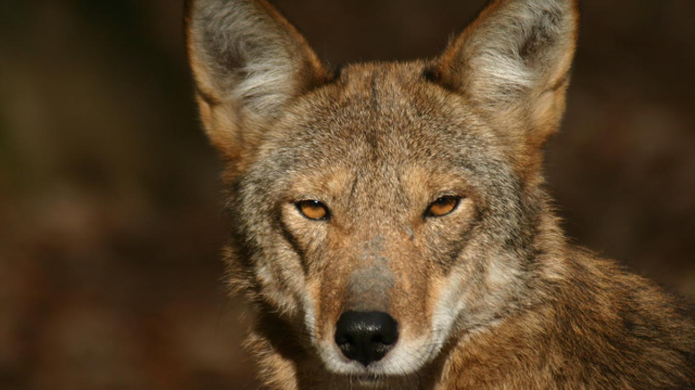 Red wolves live at the Woodlands Nature Station at Land Between the Lakes National Recreation Area. – Land Between the Lakes staff