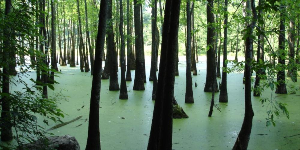 Tupelo Gum Swamp – TVA