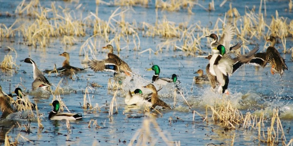 Mallards flushing from a wetland area on Duck River Bottoms. – Clayton Ferrell