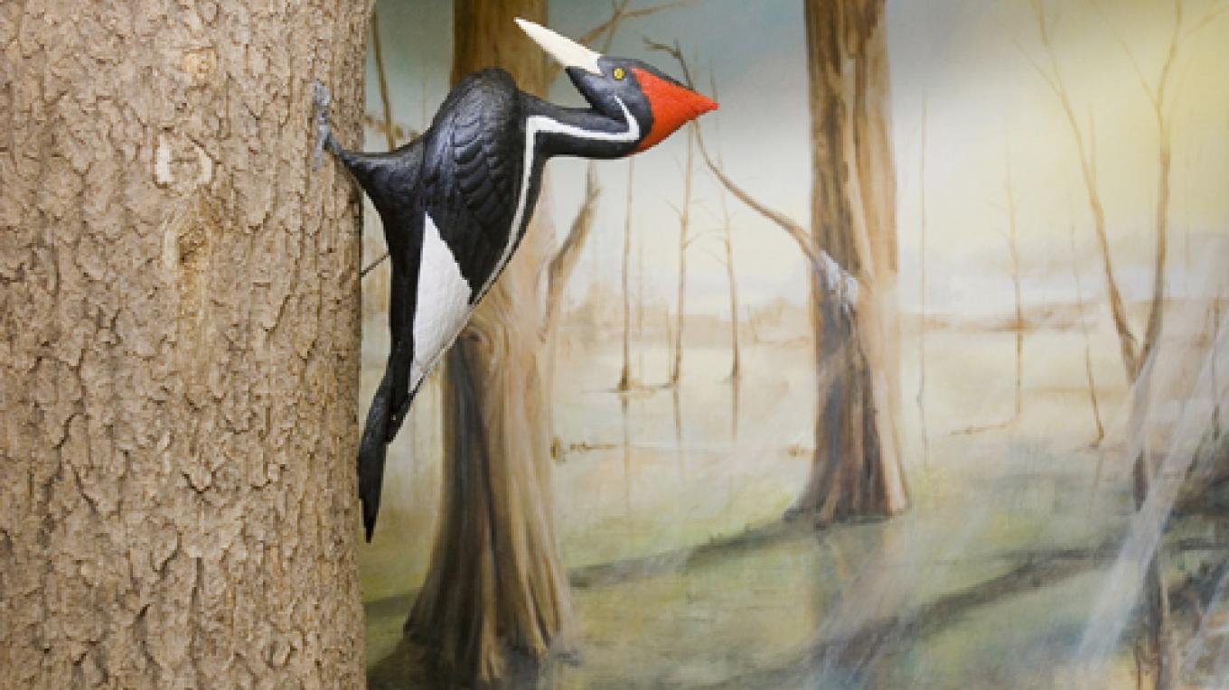 Ivory-billed woodpecker diorama/Lost Species exhibit. – Ijams Nature Center