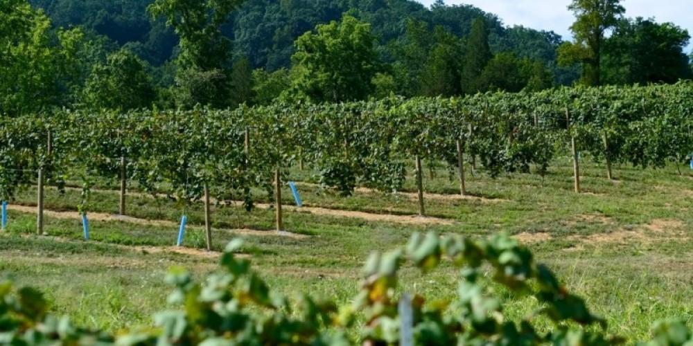 Hillside vineyard at Seven Springs Farm. – James Riddle