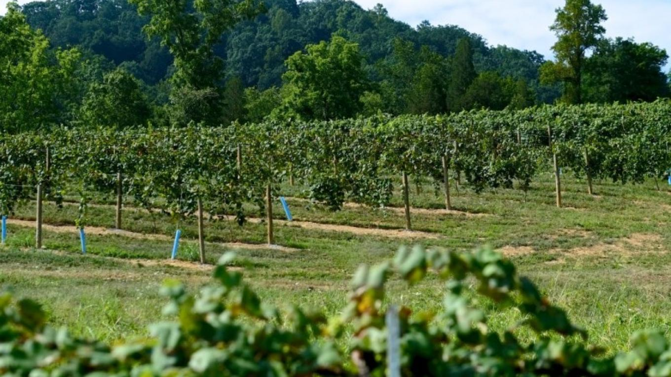 Hillside vineyard at Seven Springs Farm. – James Riddle