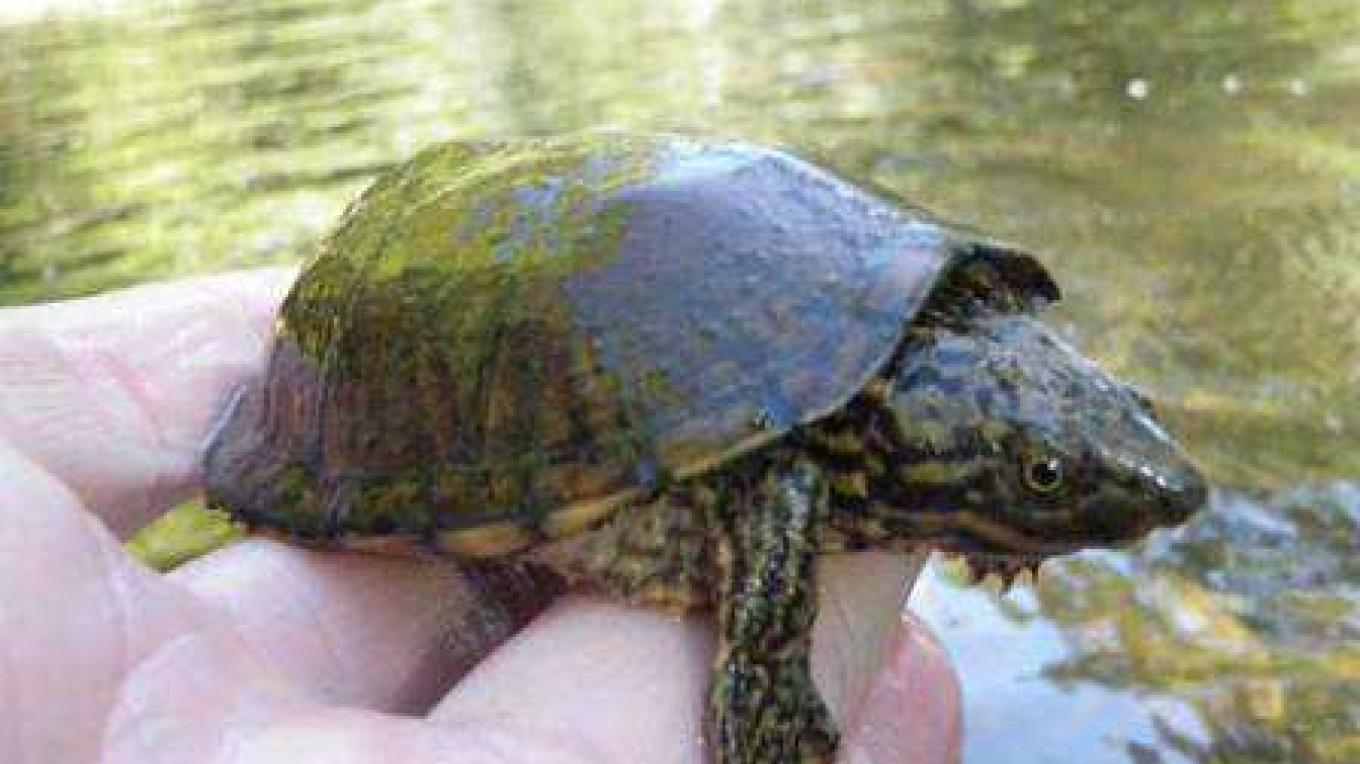 Striped Neck Musk Turtle – Delores Sowders