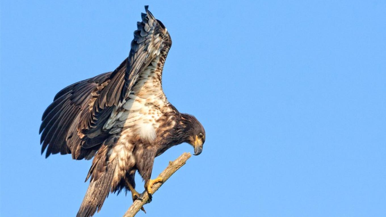 Immature Bald Eagle – Hazel Erikson
