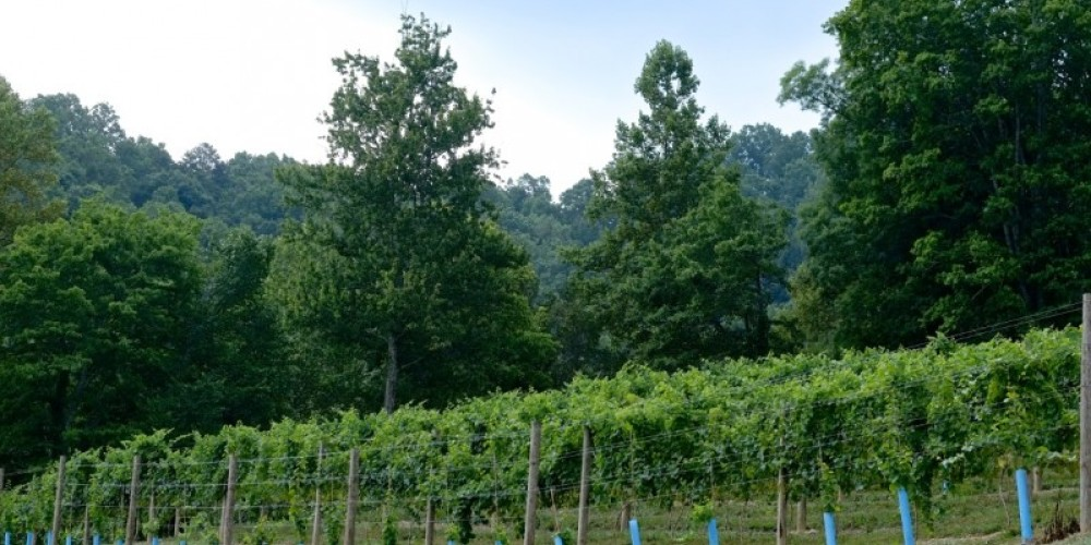 Vertical shoot positioning system with Traminette vines. – James Riddle