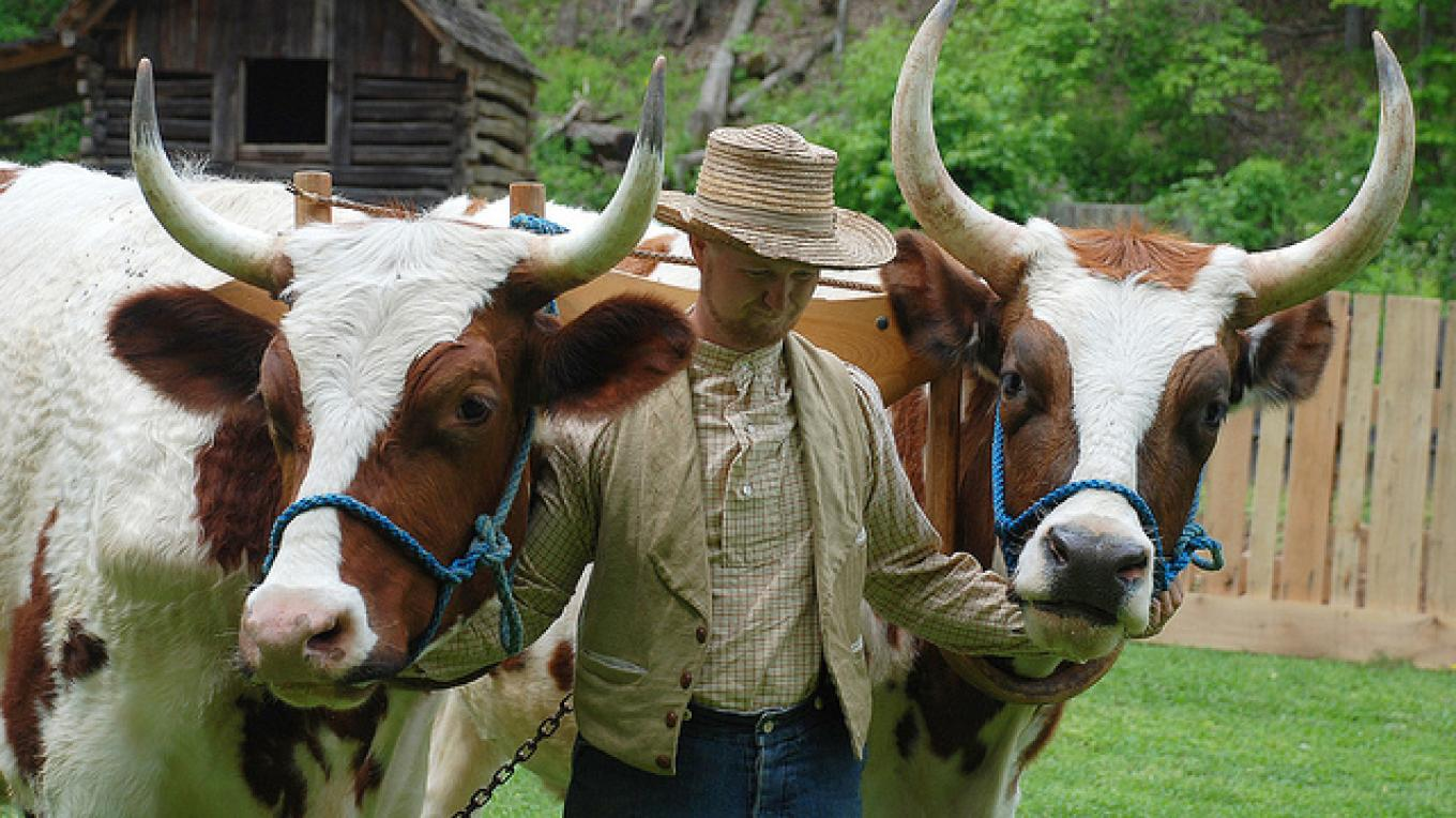 Oxen are the powerhouses of 1850s farm work. – Land Between the Lakes staff