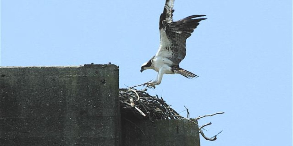 Osprey at nest – Michael Sledjeski