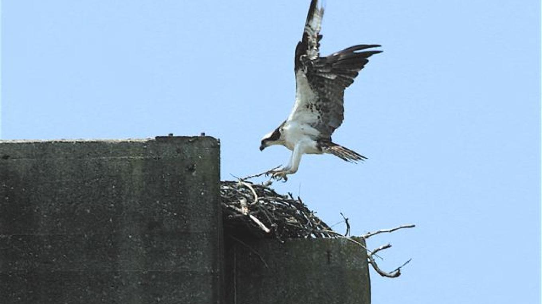 Osprey at nest – Michael Sledjeski
