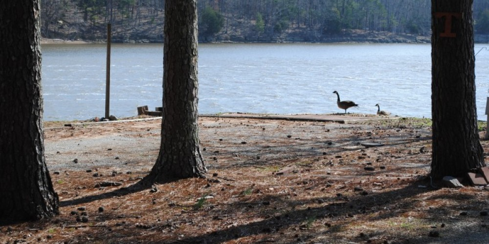 Geese looking across at Goat Island – James Gibson