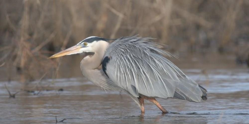 Great Blue Heron – Clayton Ferrell