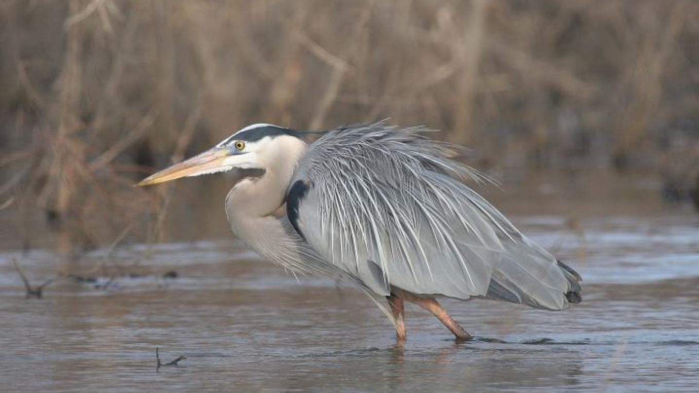 Great Blue Heron – Clayton Ferrell
