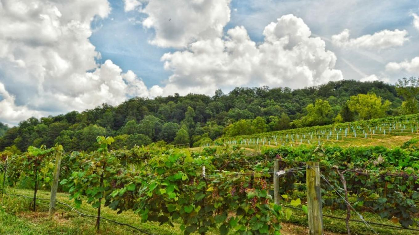The vineyards are oriented on the central ridge of Seven Springs Farm catching the first rays of early morning sun and shaded from the evening heat. – James Riddle