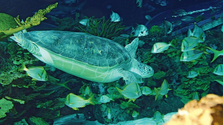 Sally the Green Sea Turtle in Shark Lagoon – Ripley's Aquarium of the Smokies