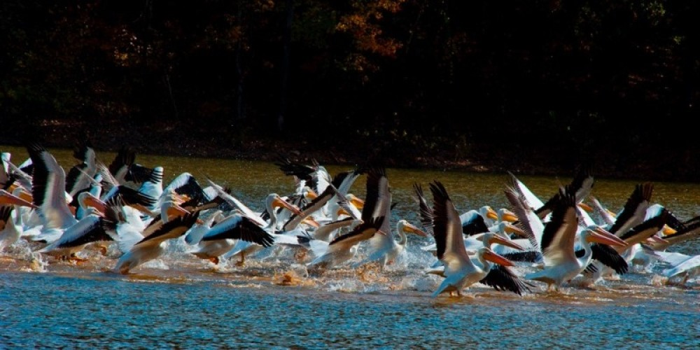 American Pelicans are frequent winter visitors to the refuge. – Richard Graves