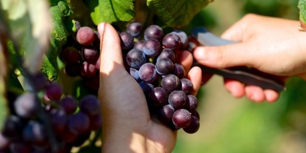 We handpick all our grapes at harvest. – James Riddle