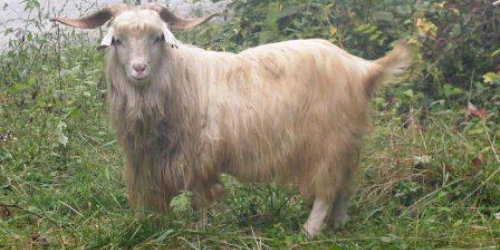 Spotless, a male cashmere goat – Beth Bohnert