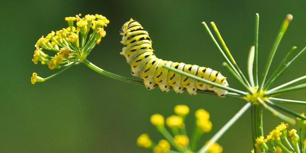 Monarch butterfly caterpiller – Jean Owens