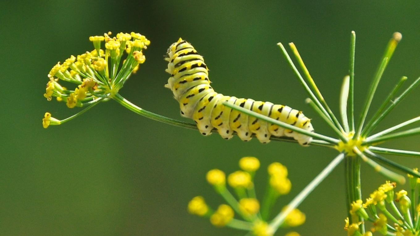 Monarch butterfly caterpiller – Jean Owens