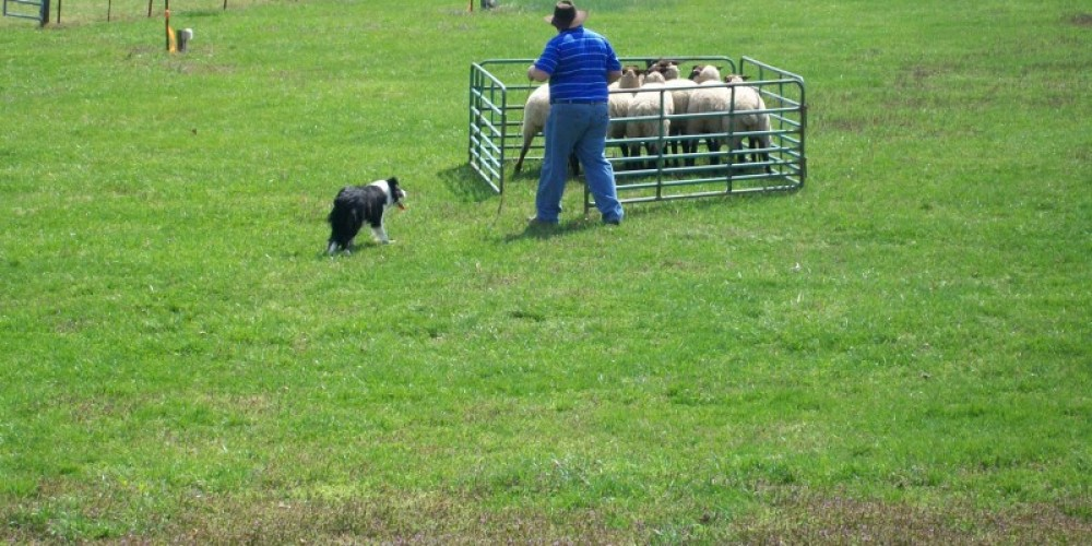 Border collie sheep-herding – Townsend Visitors Center