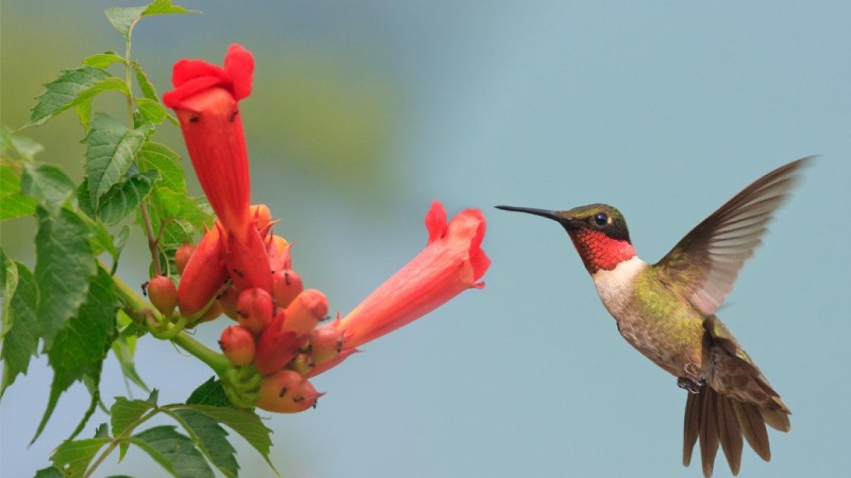 Ruby-throated Hummingbird – Hazel Erikson
