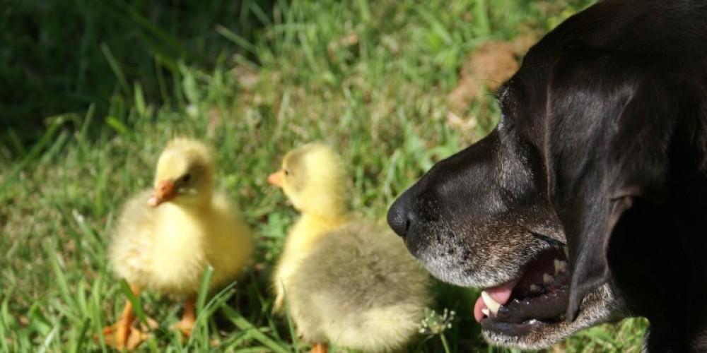 Sadie guarding the baby geese – Carol Hawkins