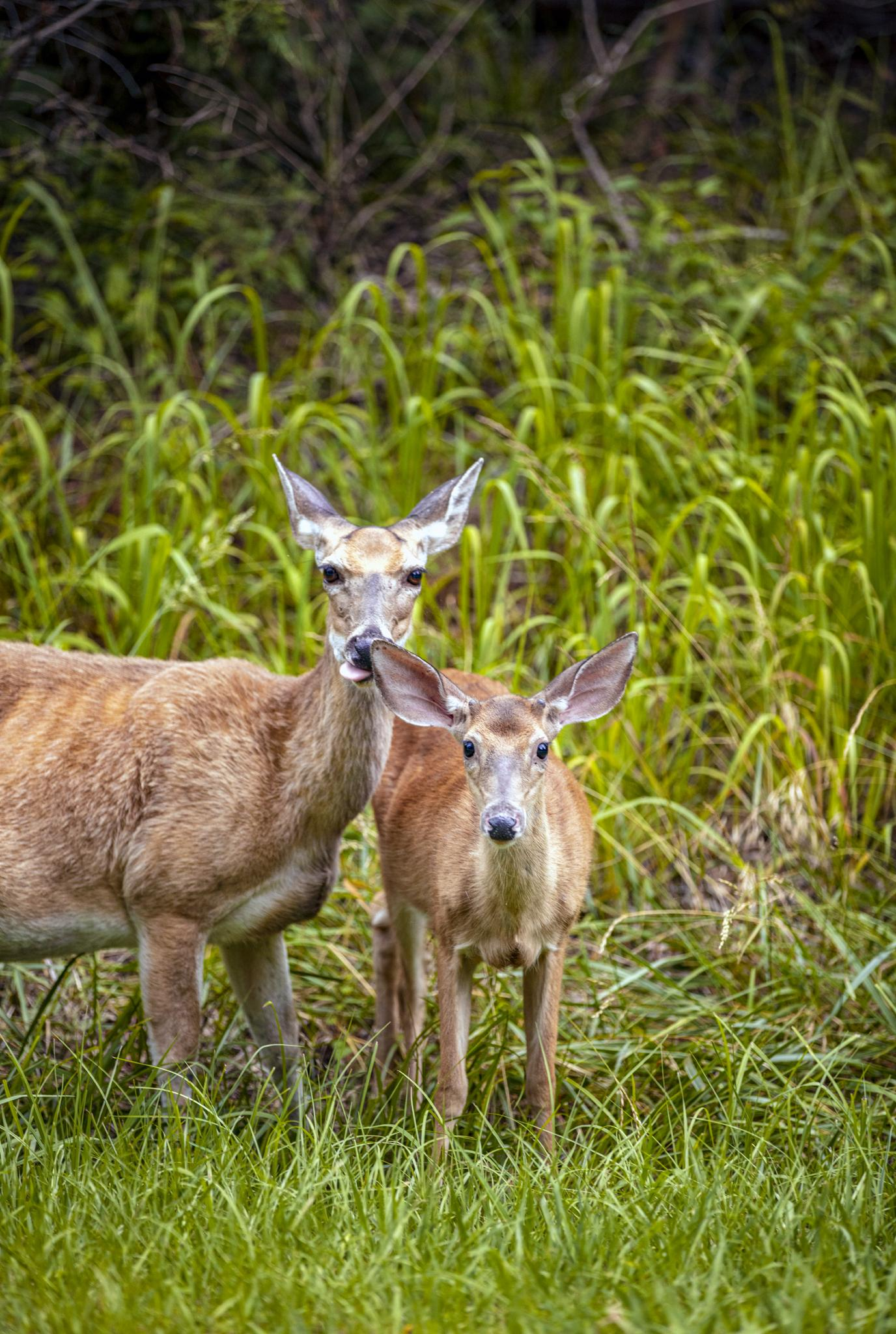 Deer and other wildlife roam freely throughout Lake Guntersville State Park providing daily entertainment for campers and hikers. – Scott Baker