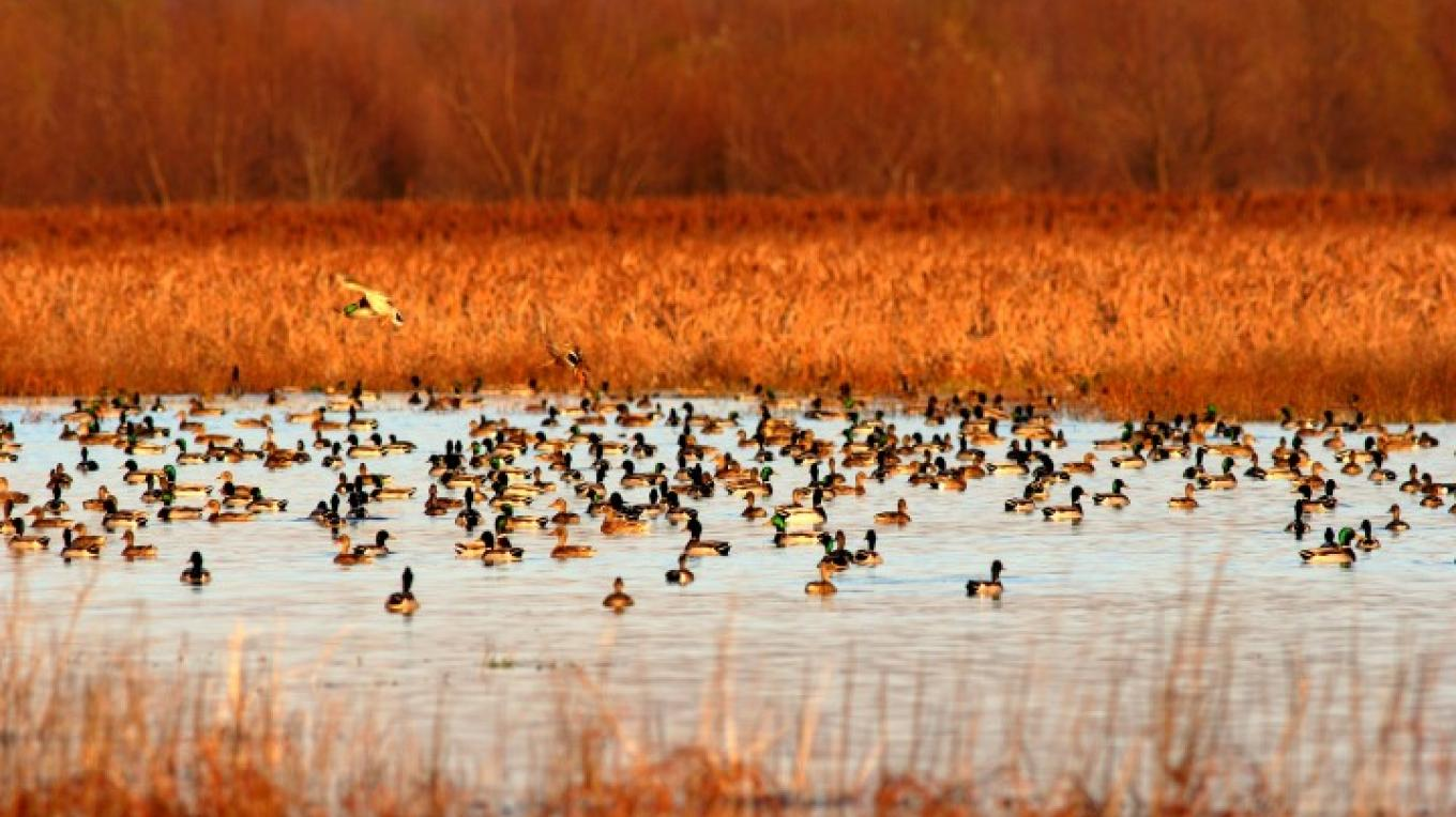 The refuge is an overwintering area for migrating waterfowl. – Barron Crawford