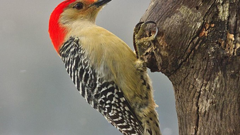 Red-bellied Woodpecker – Hazel Erikson