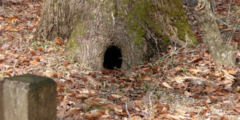 Critter home in tree. – P Chambers