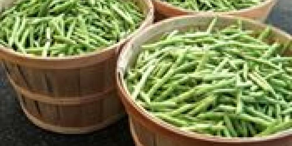 Green beans by the bushel. – Beth Bergeron