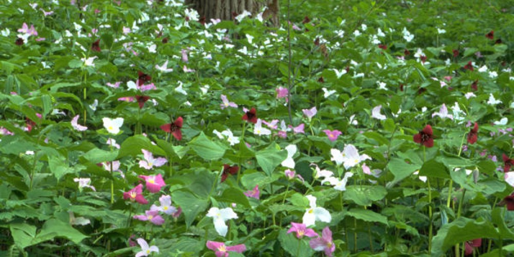 A field of trilliums is one of the memorable wildflower experiences. – Ron Castle