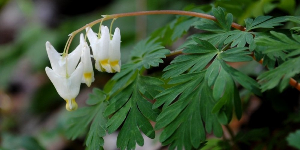 dutchman's breeches wildflower on trail – TVA