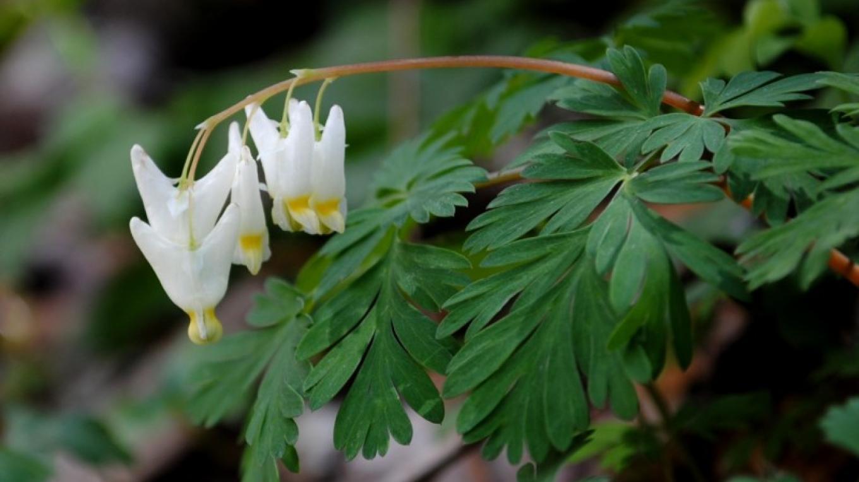 dutchman's breeches wildflower on trail – TVA