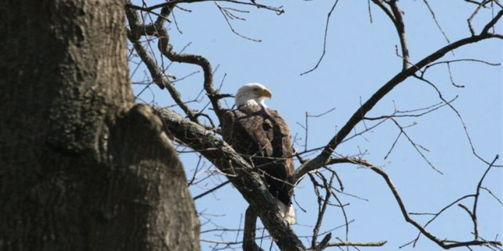 Bald Eagle – Blue Moon Cruses