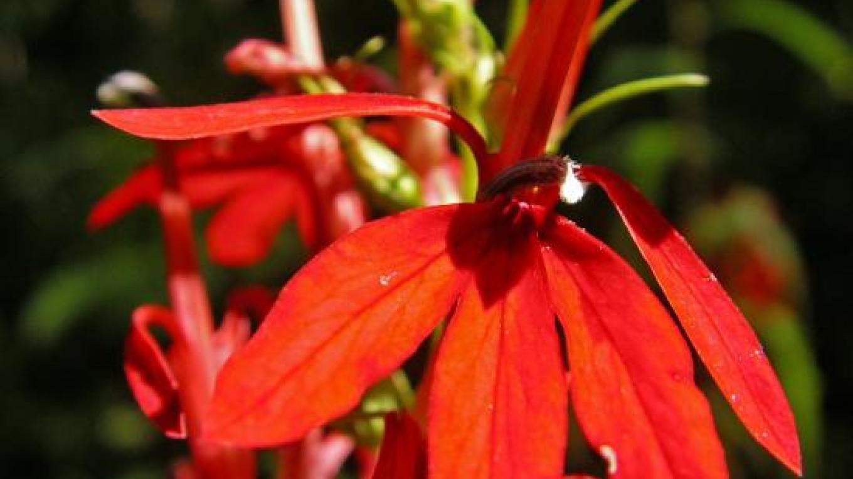 Cardinal Flower – Charles Wilder