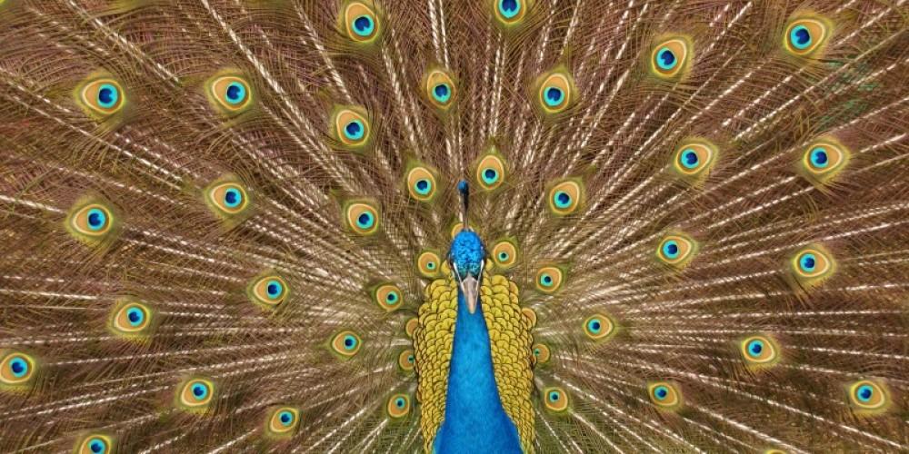Peacock, Ocoee Mist mascot – Carol Hawkins